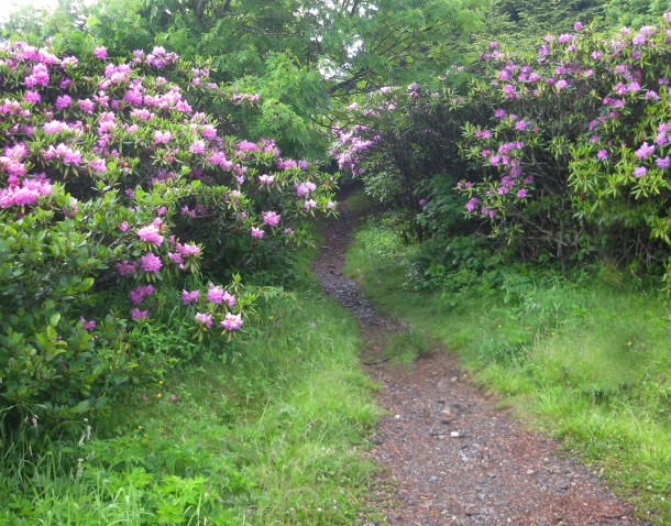 rhododendronpathweb
